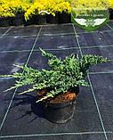 Juniperus horizontalis 'Hughes', Ялівець повзучий 'Хюз',C2 - горщик 2л, фото 7