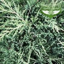 Juniperus horizontalis 'Prince of Wales', Ялівець повзучий 'Прінс оф Вейлс',C2 - горщик 2л