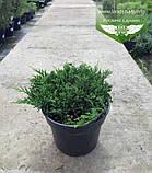 Juniperus horizontalis 'Prince of Wales', Ялівець повзучий 'Прінс оф Вейлс',C2 - горщик 2л, фото 3