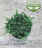 Juniperus horizontalis 'Prince of Wales', Ялівець повзучий 'Прінс оф Вейлс',C2 - горщик 2л, фото 4