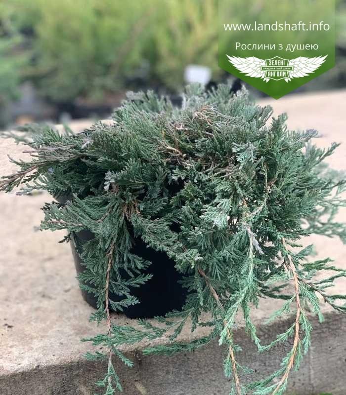 Juniperus horizontalis 'Wiltonii', Ялівець повзучий 'Вілтоні',C2 - горщик 2л