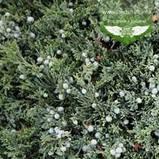Juniperus horizontalis 'Wiltonii', Ялівець повзучий 'Вілтоні',C2 - горщик 2л, фото 2