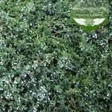 Juniperus horizontalis 'Wiltonii', Ялівець повзучий 'Вілтоні',C2 - горщик 2л, фото 3