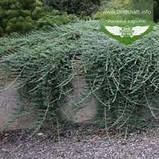 Juniperus horizontalis 'Wiltonii', Ялівець повзучий 'Вілтоні',C2 - горщик 2л, фото 4