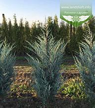 Juniperus scopulorum 'Moonlight', Ялівець скельний 'Мунлайт',WRB - ком/сітка,160-180см