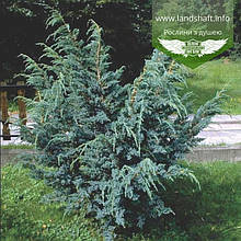 Juniperus squamata 'Meyeri', Ялівець лускатий 'Меєрі',C2 - горщик 2л