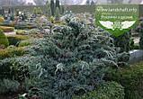 Juniperus squamata 'Meyeri', Ялівець лускатий 'Меєрі',C2 - горщик 2л, фото 2