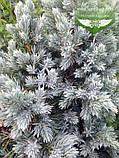 Juniperus squamata 'Meyeri', Ялівець лускатий 'Меєрі',C2 - горщик 2л, фото 5