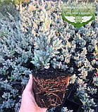 Juniperus squamata 'Meyeri', Ялівець лускатий 'Меєрі',C2 - горщик 2л, фото 6