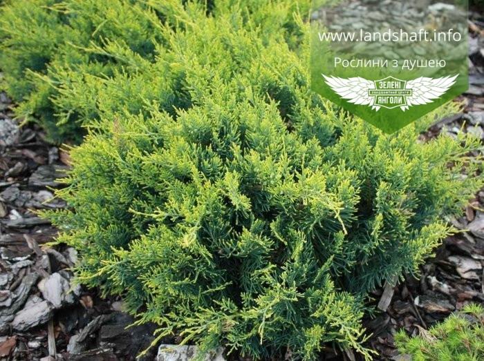 Juniperus virginiana 'Golden Spring', Ялівець віргінський 'Голден Спрінг',C2 - горщик 2л