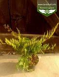 Juniperus virginiana 'Golden Spring', Ялівець віргінський 'Голден Спрінг',C2 - горщик 2л, фото 2