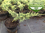 Juniperus virginiana 'Golden Spring', Ялівець віргінський 'Голден Спрінг',C2 - горщик 2л, фото 3