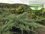 Juniperus virginiana 'Golden Spring', Ялівець віргінський 'Голден Спрінг',C2 - горщик 2л, фото 4