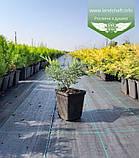 Juniperus virginiana 'Golden Spring', Ялівець віргінський 'Голден Спрінг',C2 - горщик 2л, фото 5