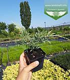 Juniperus virginiana 'Golden Spring', Ялівець віргінський 'Голден Спрінг',C2 - горщик 2л, фото 6