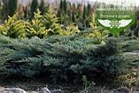 Juniperus virginiana 'Golden Spring', Ялівець віргінський 'Голден Спрінг',C2 - горщик 2л, фото 7