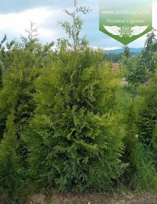 Thuja occidentalis 'Frieslandia', Туя західна 'Фрісландія',WRB - ком/сітка,120-140см