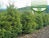 Thuja occidentalis 'Frieslandia', Туя західна 'Фрісландія',WRB - ком/сітка,120-140см, фото 2
