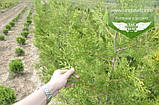 Thuja occidentalis 'Frieslandia', Туя західна 'Фрісландія',WRB - ком/сітка,120-140см, фото 5