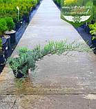 Juniperus virginiana 'Grey Owl', Ялівець віргінський 'Грей Овл',C5 - горщик 5л, фото 2