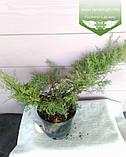 Juniperus virginiana 'Grey Owl', Ялівець віргінський 'Грей Овл',C5 - горщик 5л, фото 3