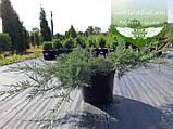 Juniperus virginiana 'Grey Owl', Ялівець віргінський 'Грей Овл',C5 - горщик 5л, фото 4
