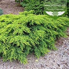 Juniperus x media 'Gold Coast', Ялівець середній 'Голд Кост',C2 - горщик 2л