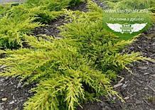 Juniperus x media 'Gold Kissen', Ялівець середній 'Голд Кіссен',C2 - горщик 2л