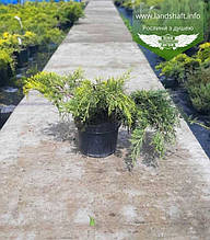 Juniperus x media 'Golden Saucer', Ялівець середній 'Голден Саусер',C5-C7 - горщик 5-7л
