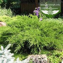 Juniperus x media 'Mint Julep', Ялівець середній 'Мінт Джуліп',C2 - горщик 2л
