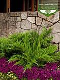Juniperus x media 'Mint Julep', Ялівець середній 'Мінт Джуліп',C2 - горщик 2л, фото 2