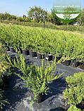 Juniperus x media 'Mint Julep', Ялівець середній 'Мінт Джуліп',C2 - горщик 2л, фото 3