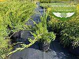 Juniperus x media 'Mint Julep', Ялівець середній 'Мінт Джуліп',C2 - горщик 2л, фото 4