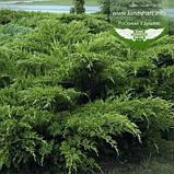 Juniperus x media 'Mint Julep', Ялівець середній 'Мінт Джуліп',C2 - горщик 2л, фото 5