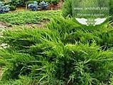 Juniperus x media 'Mint Julep', Ялівець середній 'Мінт Джуліп',C2 - горщик 2л, фото 6