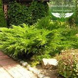 Juniperus x media 'Mint Julep', Ялівець середній 'Мінт Джуліп',C2 - горщик 2л, фото 8