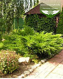 Juniperus x media 'Mint Julep', Ялівець середній 'Мінт Джуліп',C2 - горщик 2л, фото 9