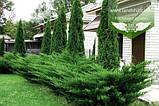 Juniperus x media 'Mint Julep', Ялівець середній 'Мінт Джуліп',C2 - горщик 2л, фото 10