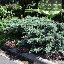Juniperus x media 'Pfitzeriana Glauca', Ялівець середній 'Пфітцеріана Глаука',C2 - горщик 2л