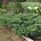 Juniperus x media 'Pfitzeriana Glauca', Ялівець середній 'Пфітцеріана Глаука',C2 - горщик 2л, фото 2