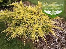 Juniperus x media 'Saybrook Gold', Ялівець середній 'Сейбрук Голд',C2 - горщик 2л