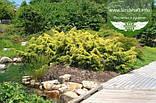 Juniperus x media 'Saybrook Gold', Ялівець середній 'Сейбрук Голд',C2 - горщик 2л, фото 2