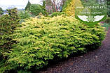 Juniperus x media 'Saybrook Gold', Ялівець середній 'Сейбрук Голд',C2 - горщик 2л, фото 3