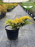Juniperus x media 'Saybrook Gold', Ялівець середній 'Сейбрук Голд',C2 - горщик 2л, фото 4