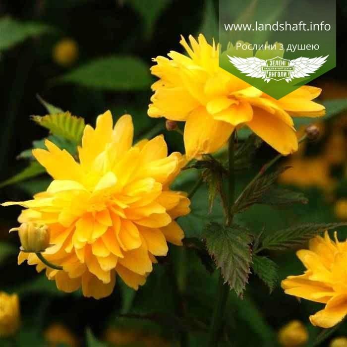 Kerria japonica 'Pleniflora', Керія японська 'Пленіфлора',P7-Р9 - горщик 9х9х9