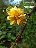 Kerria japonica 'Pleniflora', Керія японська 'Пленіфлора',P7-Р9 - горщик 9х9х9, фото 2