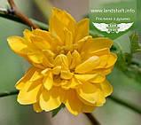 Kerria japonica 'Pleniflora', Керія японська 'Пленіфлора',P7-Р9 - горщик 9х9х9, фото 4