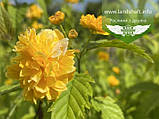 Kerria japonica 'Pleniflora', Керія японська 'Пленіфлора',P7-Р9 - горщик 9х9х9, фото 5