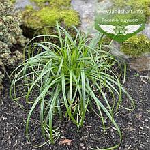 Carex 'Ribbon Falls', Осока 'Ріббон Фолз',C2 - горщик 2л