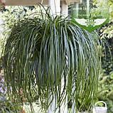 Carex 'Ribbon Falls', Осока 'Ріббон Фолз',C2 - горщик 2л, фото 2